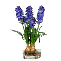 Blue Hyacinth In Illusion