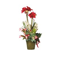 Christmas Amaryllis in Tall Square Pot